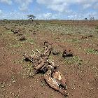 Décès du bétail dû à la sécheresse