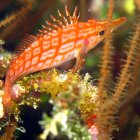 Longnose hawkfish in the Namena Marine Reserve